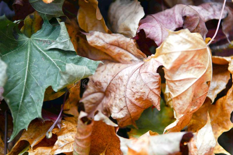 Background group autumn oranges dried leaves. Outdoor. Background with group autumn orange leaves. Outdoor royalty free stock photography