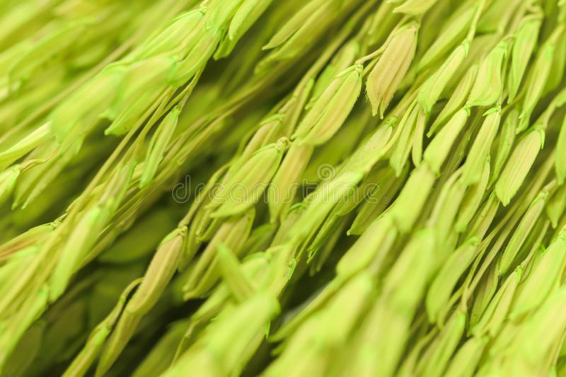 Background group green Ears of wheat background. Background of group green Ears of wheat background stock image