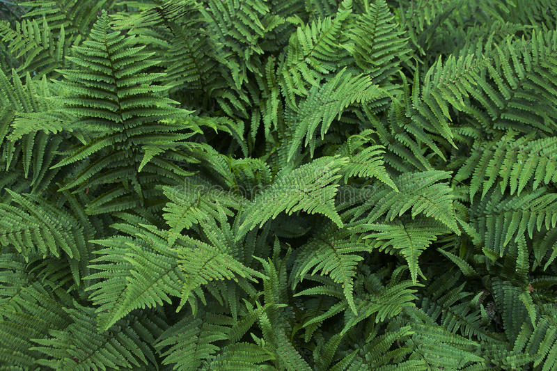 Background of a group of green fern leaves. Close-up royalty free stock image