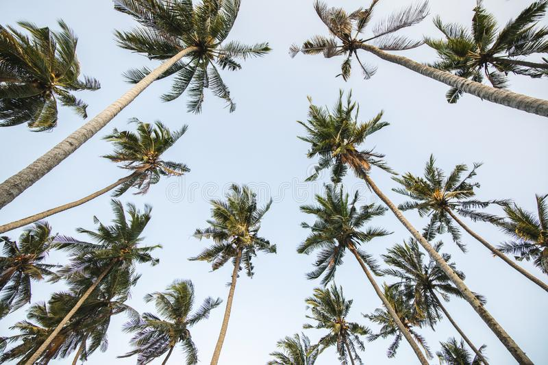 Background of high palm trees with clear blue sky royalty free stock photos