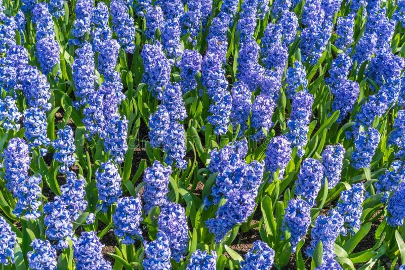 Background hyacinth flowering in big pot. Macro of purple hyacinth flower meadow. Many violet hyacinth flowers in winter garden. stock photos