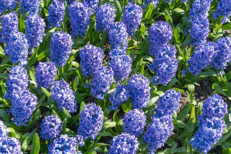 Background hyacinth flowering in big pot. Macro of purple hyacinth flower meadow. Many violet hyacinth flowers in winter garden. Early spring hyacinth flowers royalty free stock images