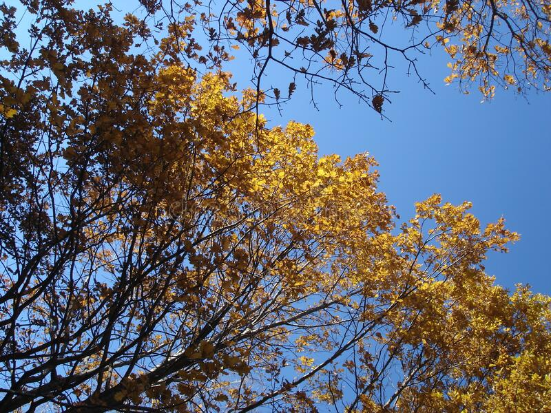 Oak tree in autumn, yellow leaves against the sky stock image
