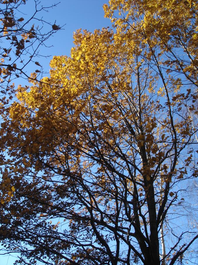 Oak tree in autumn, yellow leaves against the sky royalty free stock photography
