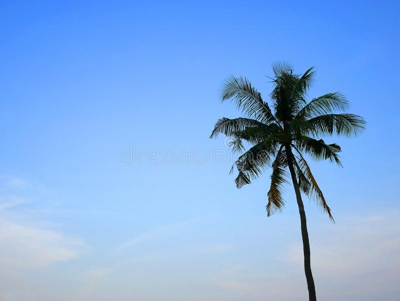 A coconut tree with blue sky. royalty free stock photo