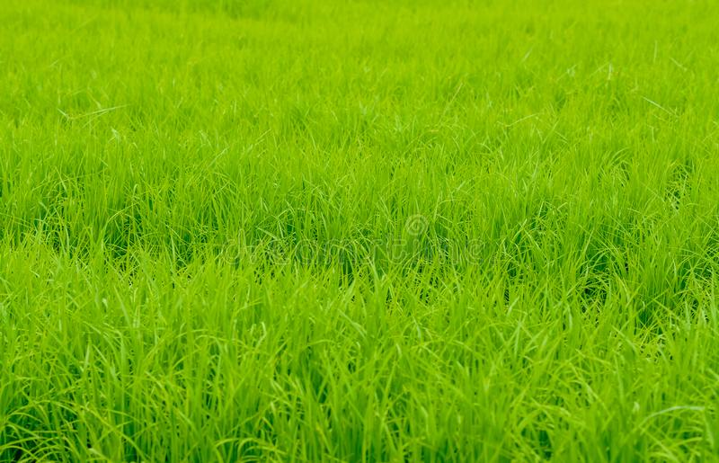 Background image of newly planted rice. Look like grass seedlings waiting to grow in the growing season stock image