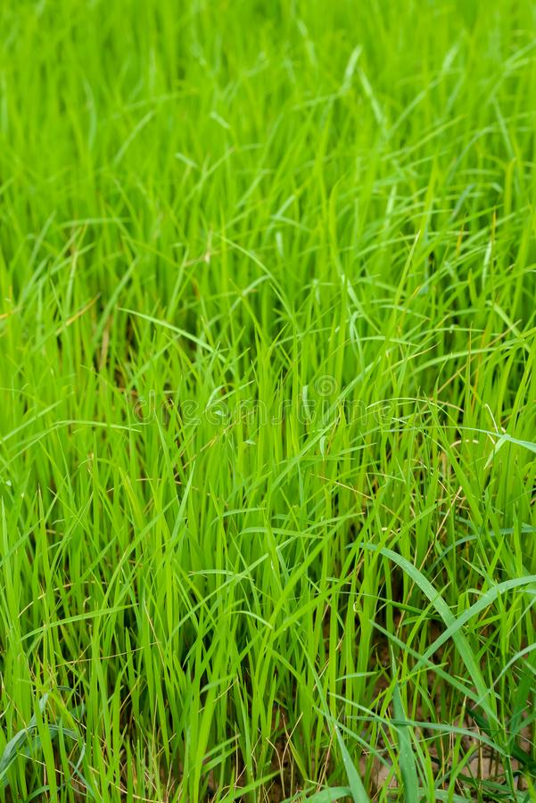 The newly planted rice look like grass seedlings waiting to grow. Background image of newly planted rice look like grass seedlings waiting to grow in the growing royalty free stock photography