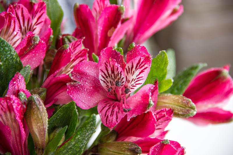 Download Alstroemeria Flowers Stock Photography - Image: 29734742