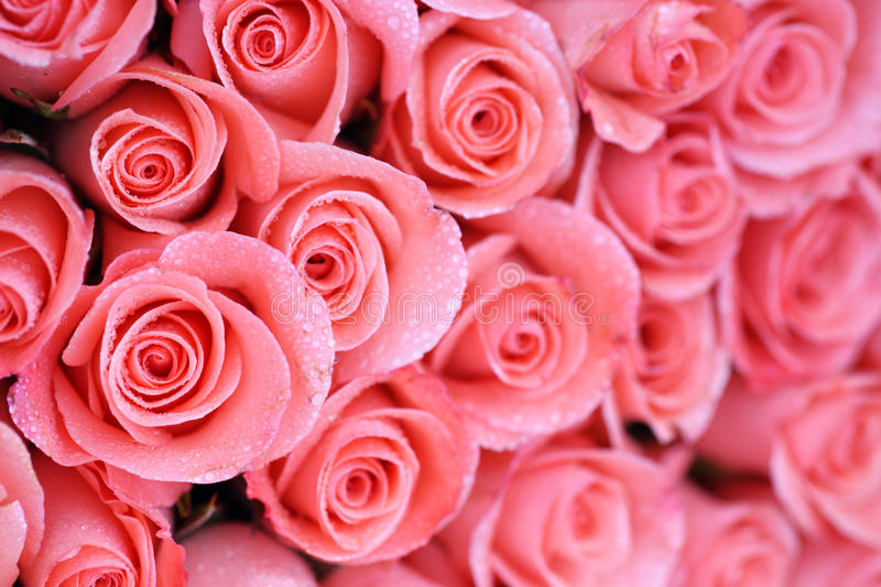 Background image of pink roses. With water drop stock images