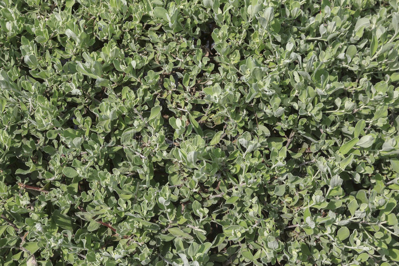 Background image of Privet Hedge green leaves. royalty free stock images