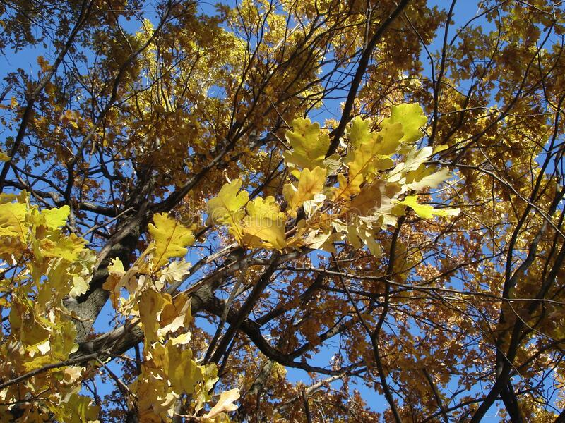 Oak tree in autumn, yellow leaves against the sky royalty free stock images