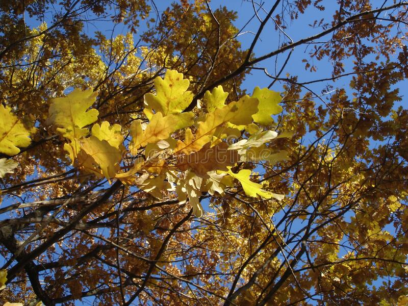 Oak tree in autumn, yellow leaves against the sky royalty free stock photos