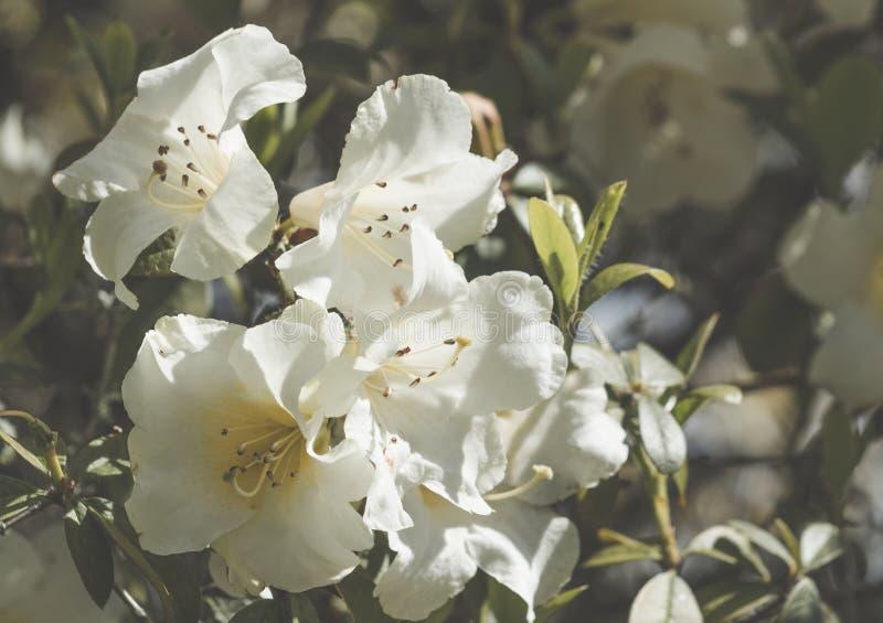 White azalea flowers royalty free stock image