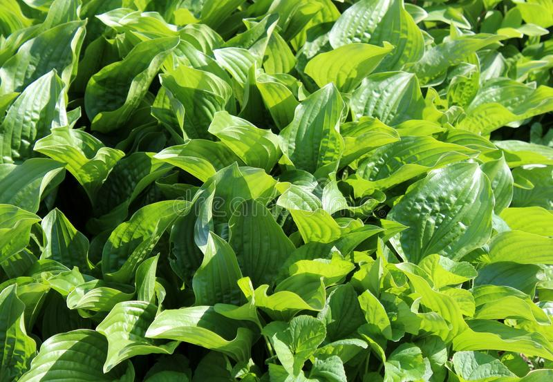 Background of large green leaves of ground cover plants in backyard garden. Horizontal image of healthy green plants with large leaves, a great ground cover in stock photos
