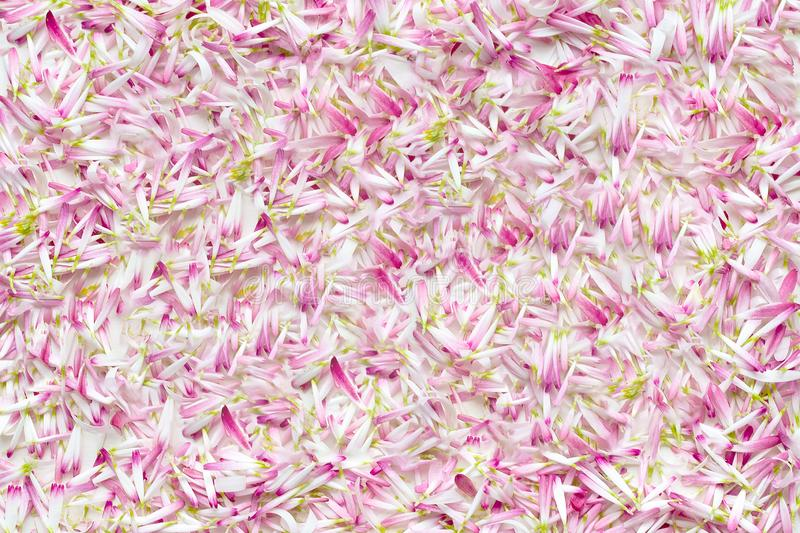 Background from a large number of petals daisies royalty free stock image