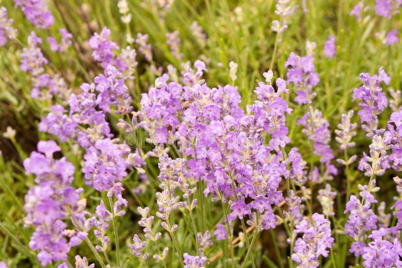 Background of lavender flowers . Selective focus . Flowering lav. Ender stock photo