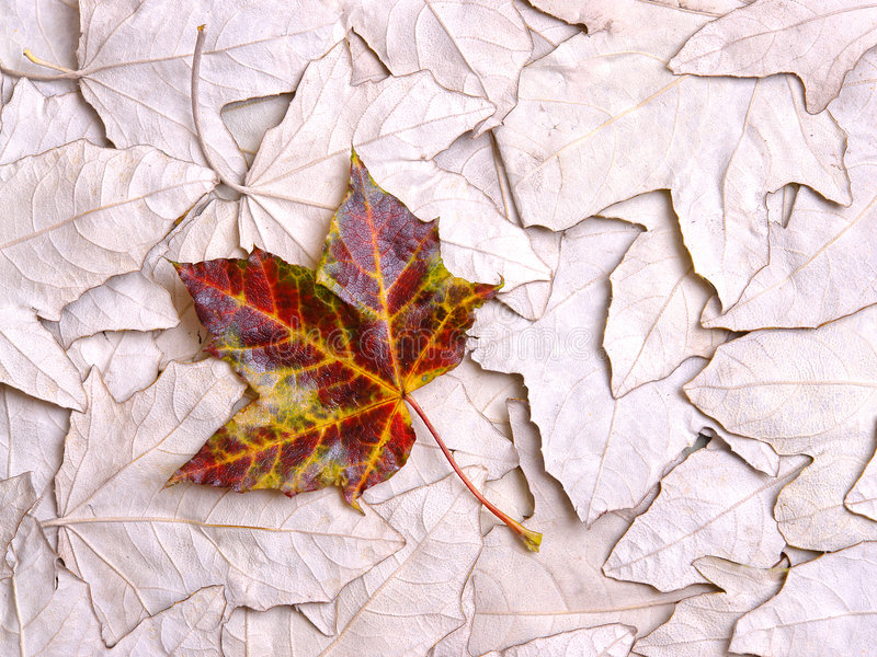 background leaf maple 库存照片