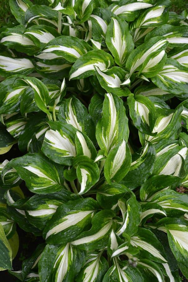 Background from leaves hosts funkiya wavy Hosta undulata Otto et Dietr. Bailey, grades of Univittata.  stock photo