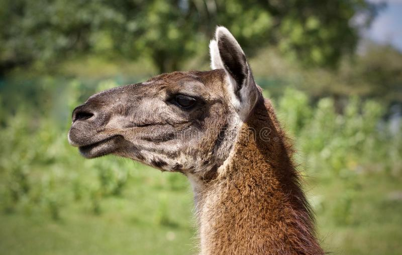 Background with a llama looking aside in a field. Image of a llama looking aside in a field stock image