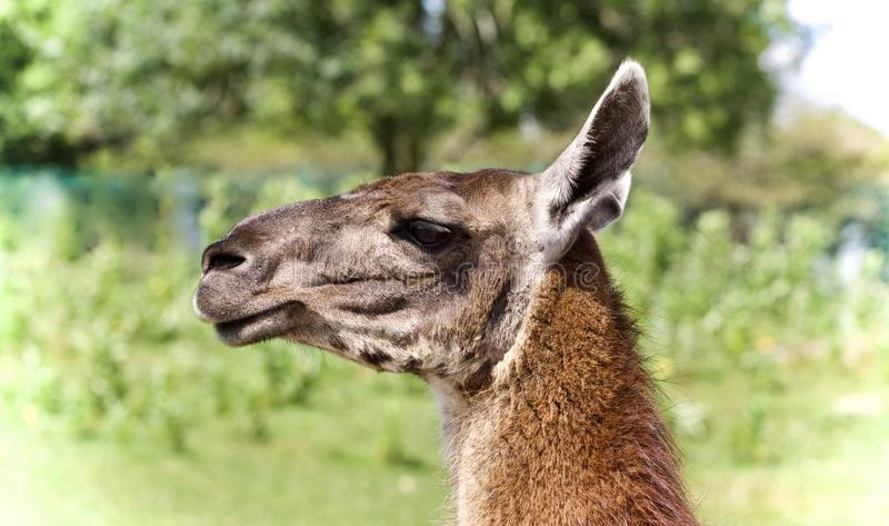 Background with a llama looking aside in a field. Photo of a llama looking aside in a field royalty free stock photo