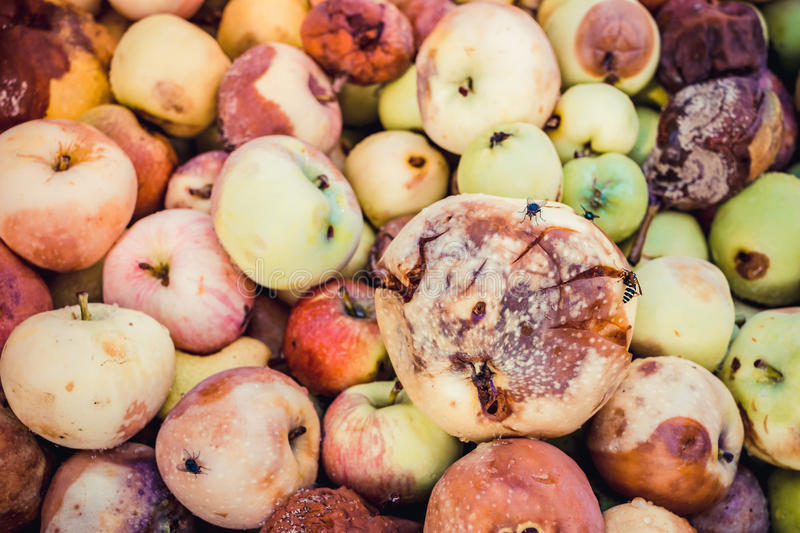 Background of a lot of bad apples. A bunch of red, green, yellow and brown rotten apples for design stock photography