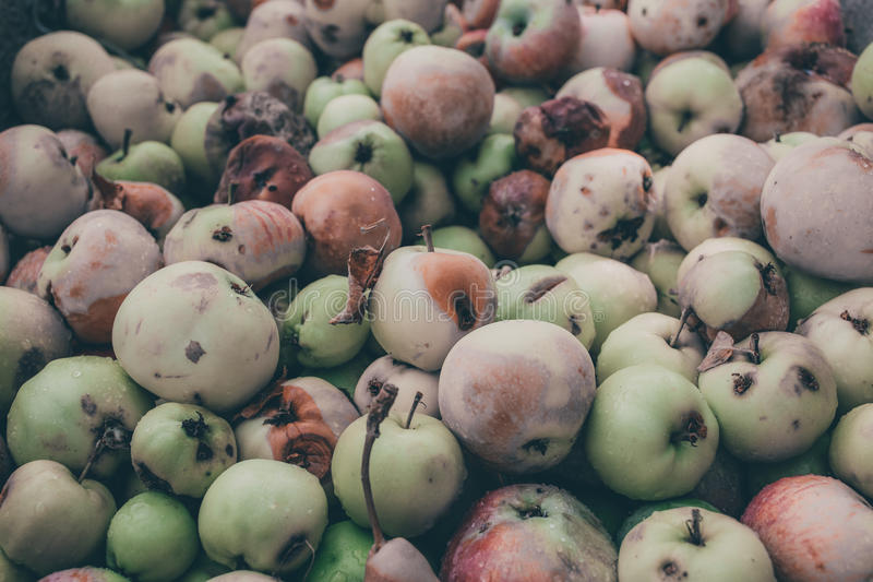 Background of a lot of bad apples. A bunch of red, green, yellow and brown rotten apples for design royalty free stock image