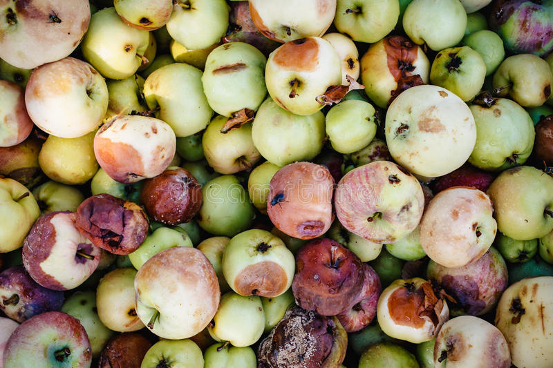 Background of a lot of bad apples. A bunch of red, green, yellow and brown rotten apples for design stock photos