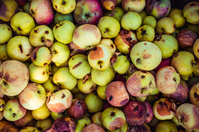 Background of a lot of bad apples. A bunch of red, green, yellow and brown rotten apples for design stock image