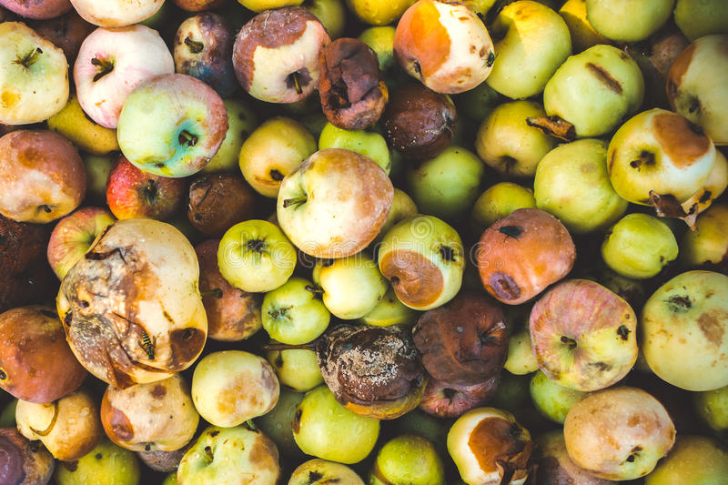 Background of a lot of bad apples. A bunch of red, green, yellow and brown rotten apples for design royalty free stock images