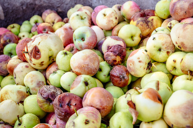 Background of a lot of bad apples. A bunch of red, green, yellow and brown rotten apples for design stock images