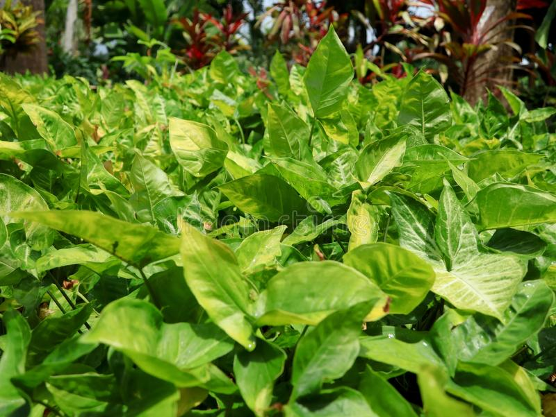 Lush Green Tropical Arrowhead Plants. Background of lush green tropical Arrowhead or Goosefoot plants, common houseplant and garden landscaping plant royalty free stock images