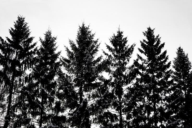 Background made of black contrasting silhouettes of Christmas trees. Isolated spruces royalty free stock photos