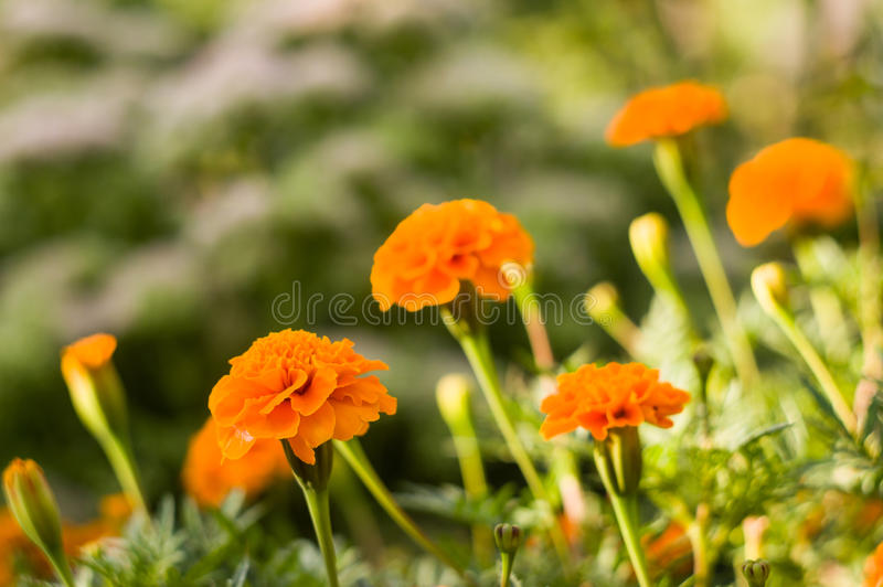 Background From Marigold Flowers Royalty Free Stock Photos