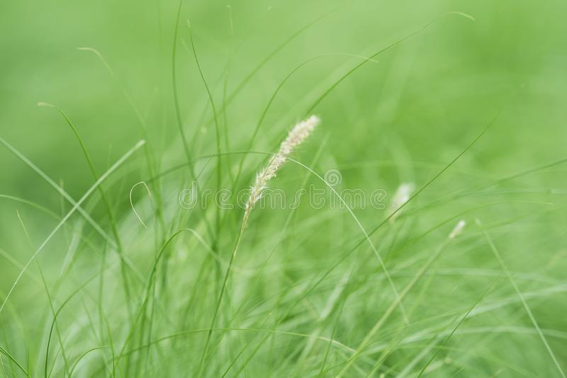 Background of mission grasses in the garden. Background of green mission grasses in the garden royalty free stock photography