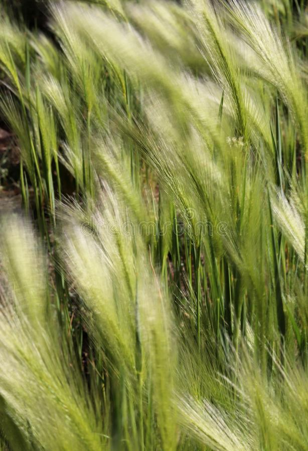 Background of moving grass, abstract. Abstract waves of moving grass in field, showing motion and movement concepts with soft focus for copy space wording stock images