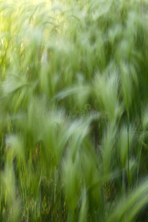 Background of moving grass, abstract. Abstract waves of moving grass in field, showing motion and movement concepts with soft focus for copy space wording royalty free stock photo