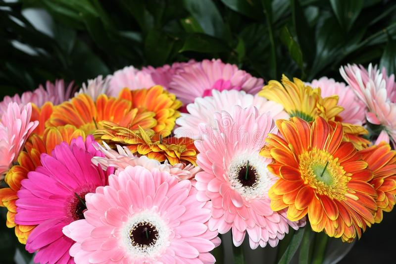 Background from multi-colored gerberas. Pink, yellow, white flowers. Gardening and growing flowers. Floristics and bouquets royalty free stock photography