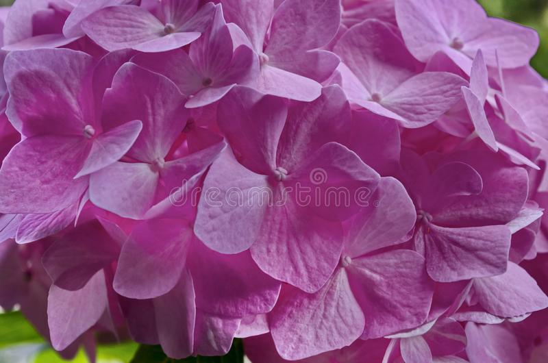 Background of multiple rose hydrangea plant or hortensia flower in blooming close up stock photo