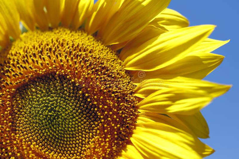Background natural beauty. Fragment of a bright sunflower flower against a blue sky. royalty free stock images