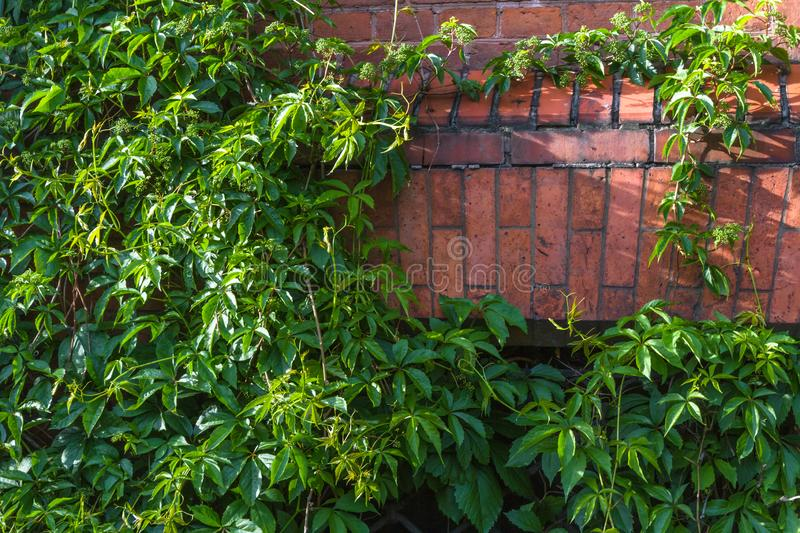 Ivy wall  and old red brick wall royalty free stock image