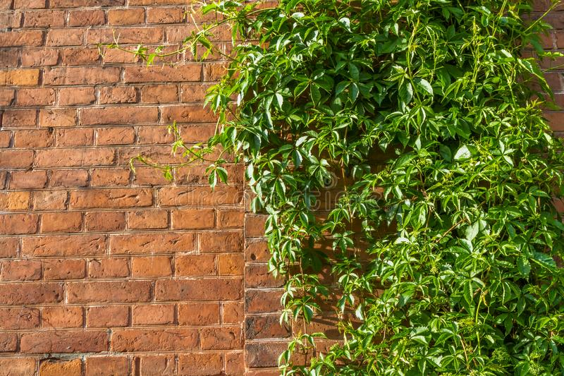 Ivy wall  and old red brick wall stock photography