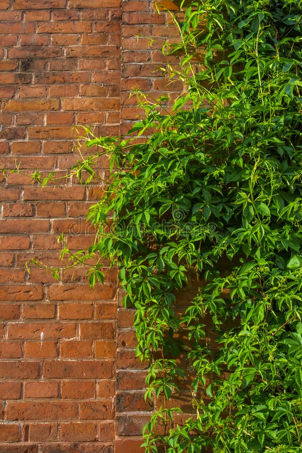 Ivy wall  and old red brick wall royalty free stock photos