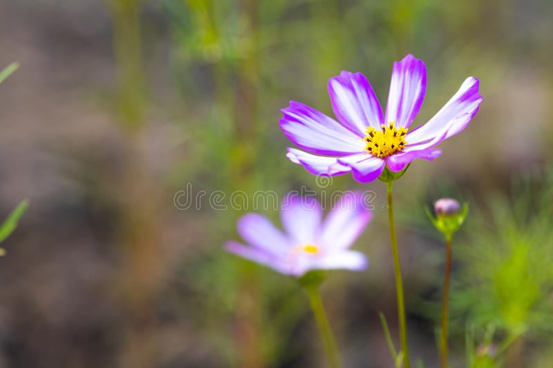 Background nature colorful purple cosmos flowers in garden photograph postcard style stock image