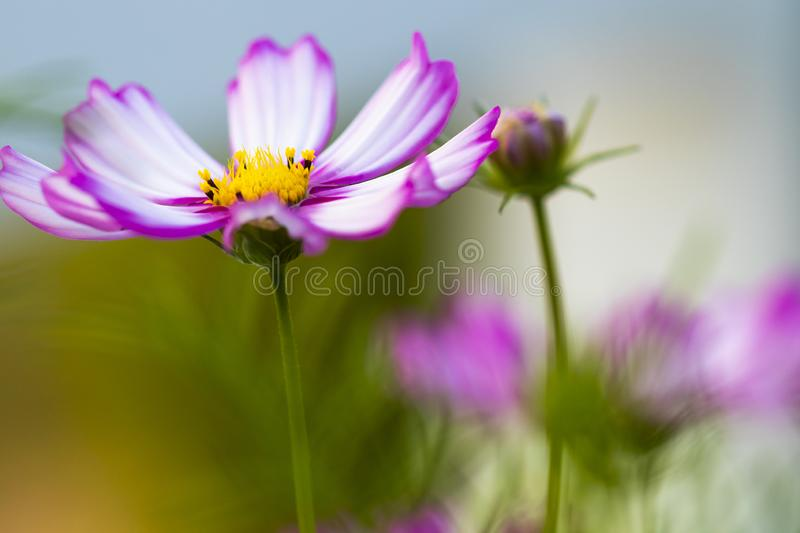 Background nature colorful purple cosmos flowers in garden photograph postcard style royalty free stock photography