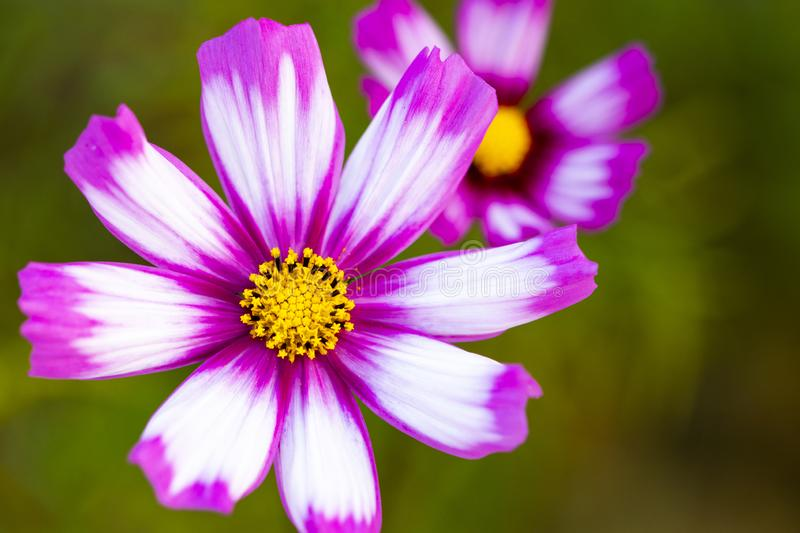 Background nature colorful purple cosmos flowers in garden photograph postcard style stock photos