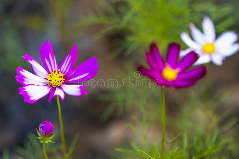 Background nature colorful purple cosmos flowers in garden photograph postcard style stock images