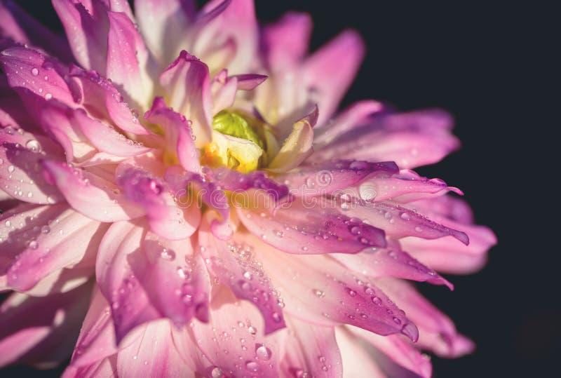 Background nature Flower dahlia Orange,pink flowers.  stock photography