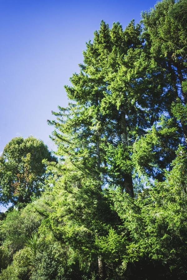 Tall green trees against a blue clear sky. Background nature image of tall green trees against a blue clear sky royalty free stock images