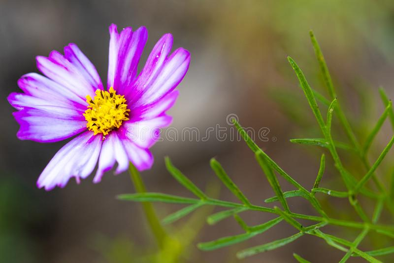 Background nature texture colorful pink cosmos flowers in garden photograph postcard style royalty free stock photography