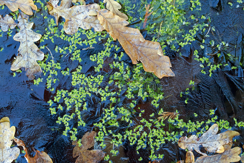 Background. Oak leaves and duckweed under the ice. royalty free stock photography